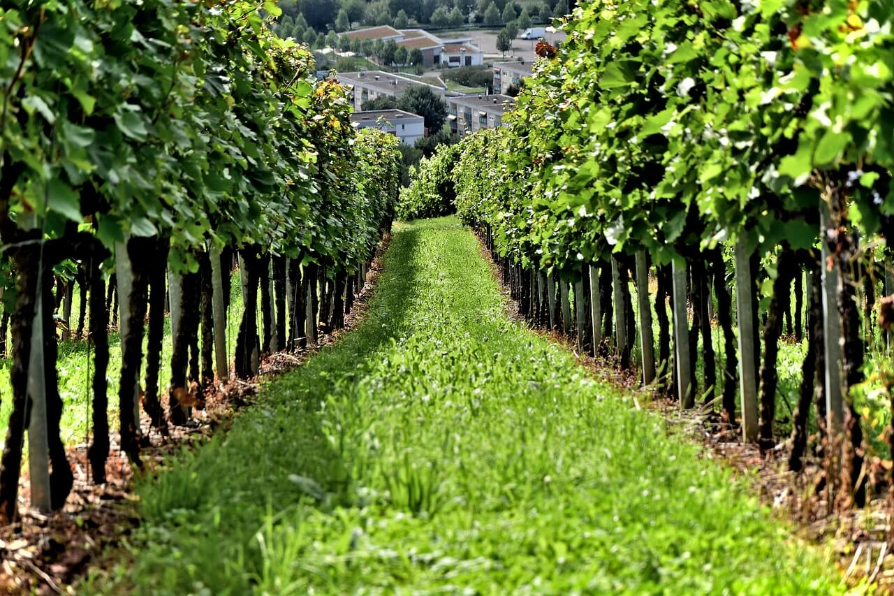 Green Vine Yard