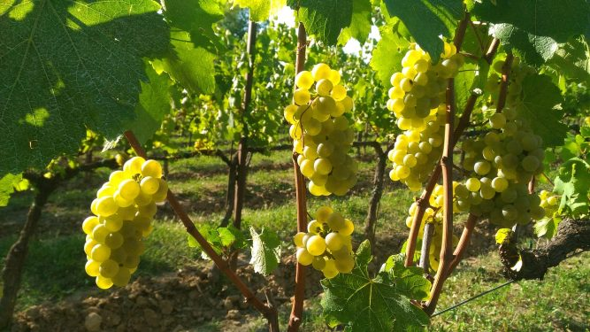 Franciacorta Vines
