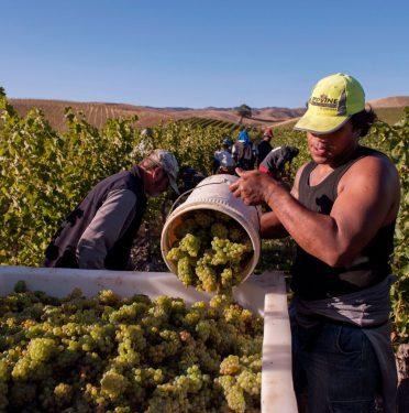 Pickers harvesting Sauvignon Blanc at Yarrum Vineyard