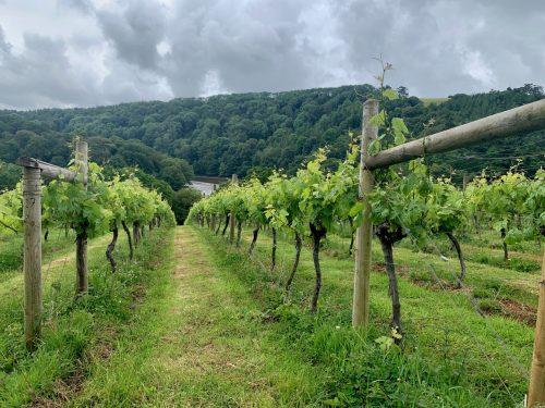 Vineyard at Sharpham