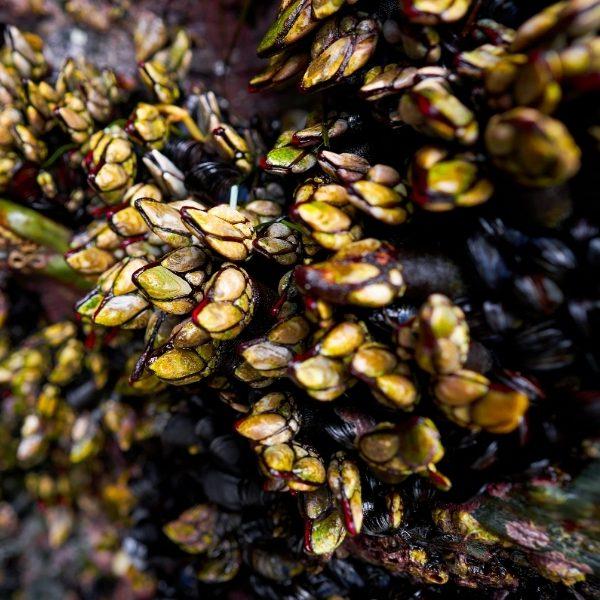 Percebes barnacles