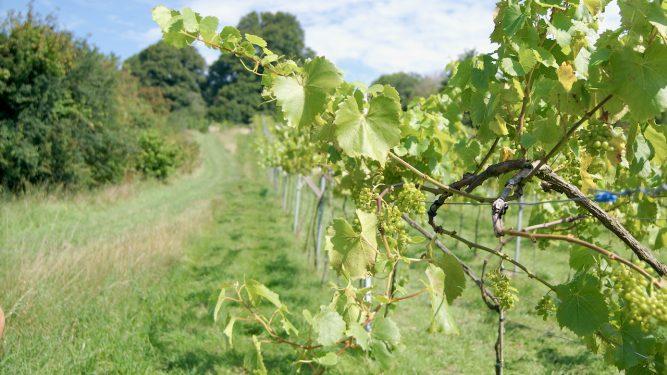 Orion vines @ Limeburn Hill