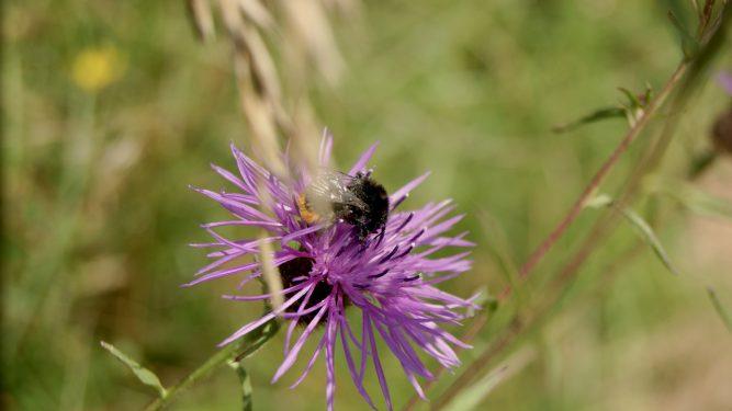 Bee on Knapweed @ Limeburn Hill